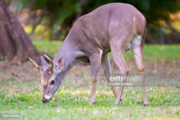 white tail deer: national symbol of costa rica - white tail buck stock photos and pictures