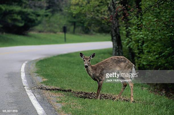 white tail deer on the road - biche photos et images de collection