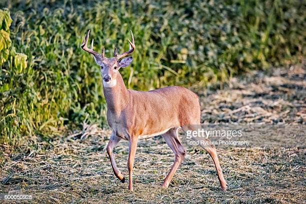 white tail on the move - white tail buck stock photos and pictures