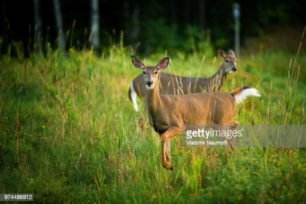 white tail - white tail buck stock photos and pictures
