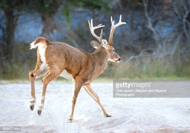 white tailed buck deer moving across the sand at fire island national seashore - white tail deer stock photos and pictures
