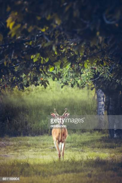 White Tailed Buck Deer Standing In Meadow Under Cherry Tree