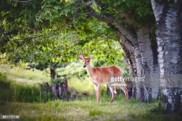 white tailed buck deer standing in meadow under cherry tree - istock photo stock pictures, royalty-free photos & images