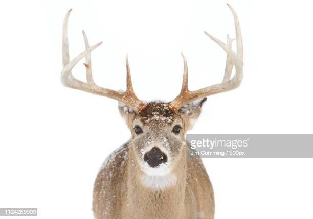 white tailed deer buck closeup - white tail buck stock photos and pictures