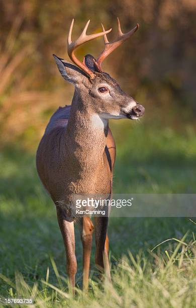 white tailed deer buck - white tail deer stock photos and pictures