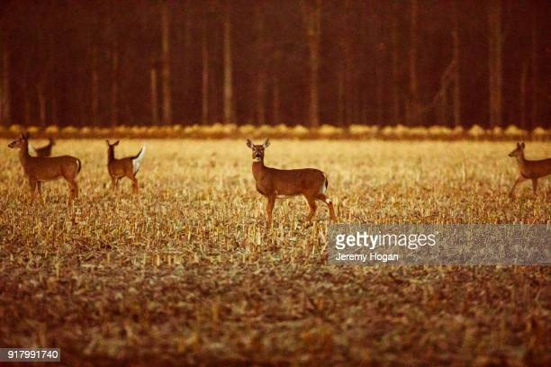 white tailed deer eat in a harvested cornfield in february at the bean blossom bottoms - bloomington indiana stock photos and pictures