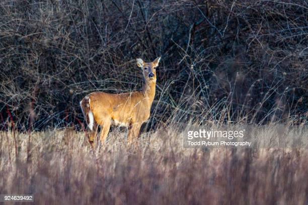 white tailed deer in a field - femmina di daino foto e immagini stock