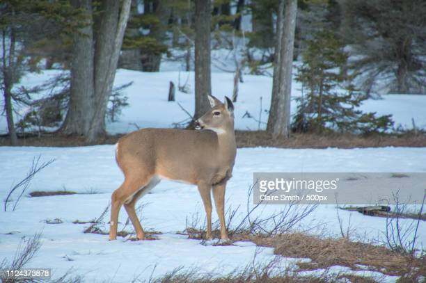 white tailed deer in meadow and snow, looking behind - white tail buck stock photos and pictures