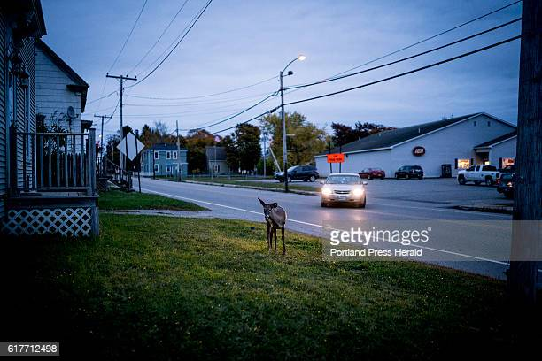 A white tailed deer is illuminated by a car's headlights in downtown Eastport as it grazes in a front yard at dusk Tuesday October 18 2016