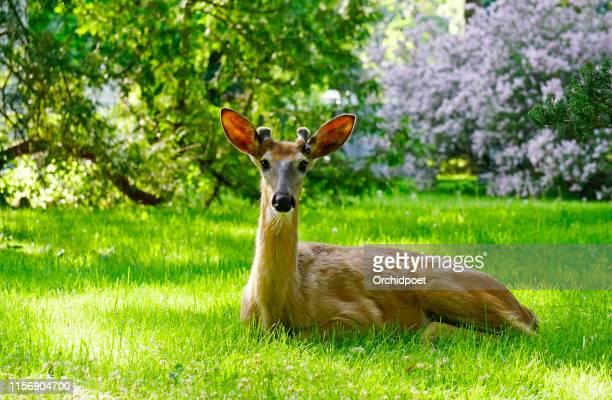 witte staart herten male - mannetjesdier stockfoto's en -beelden