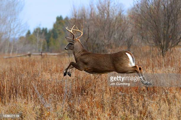 white tailed deer - white tail deer stock photos and pictures