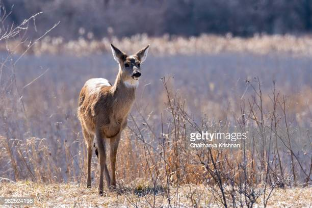 a white tailed deer standing next to a marshy land inside magee marsh wildlife area - white tail buck stock photos and pictures