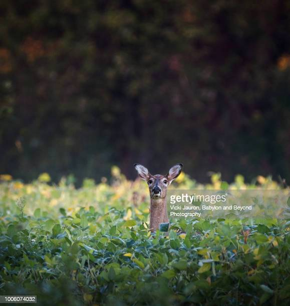 white tailed doe hiding in the grass in pennsylvania - one animal stock pictures, royalty-free photos & images