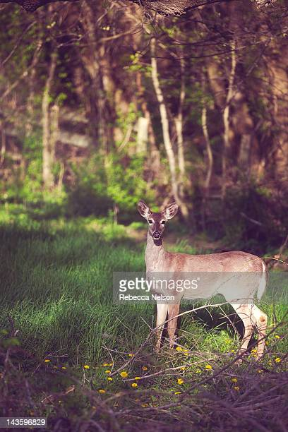 white tailed doe - rebecca nelson stock pictures, royalty-free photos & images