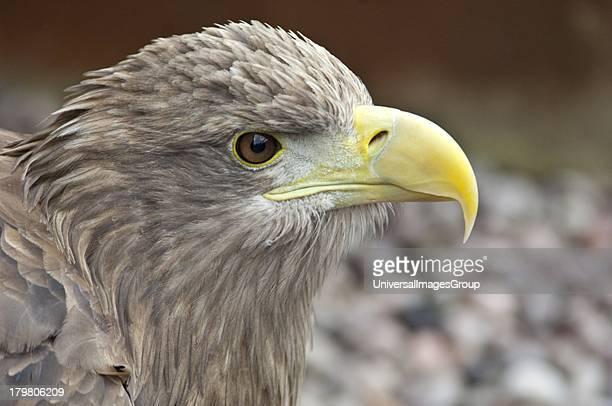 White Tailed Eagle Haliaeetus Albicilla adult female head study Gauntlet Raptor Centre Cheshire England United Kingdom