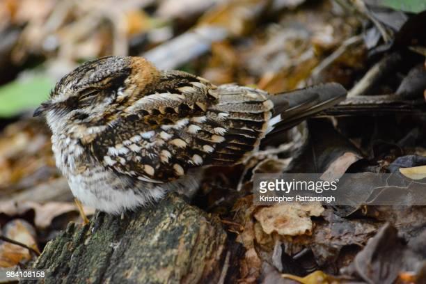 white tailed nightjar - nightjar stock photos and pictures