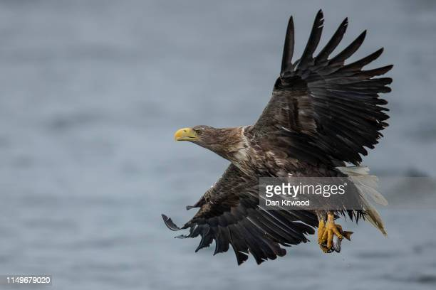 White Tailed Sea Eagle comes in to catch a fish thrown overboard from a wildlife viewing boat on June 9 2019 on the Isle of Mull Scotland The Royal...