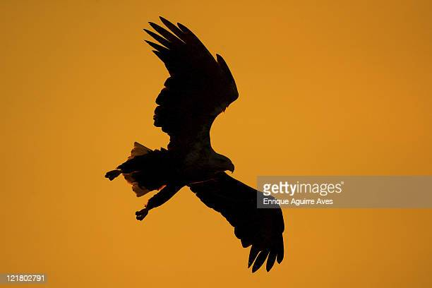 White tailed sea eagle, Haliaeetus albicilla, in flight at sunset, Norway