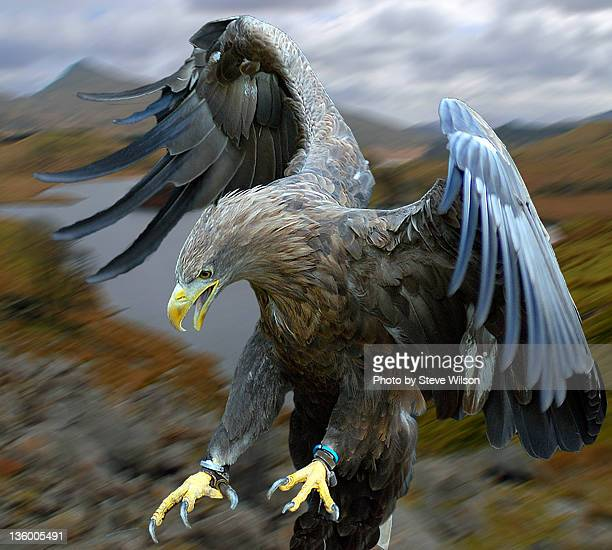 white tailed sea eagle - landing gear stock photos and pictures