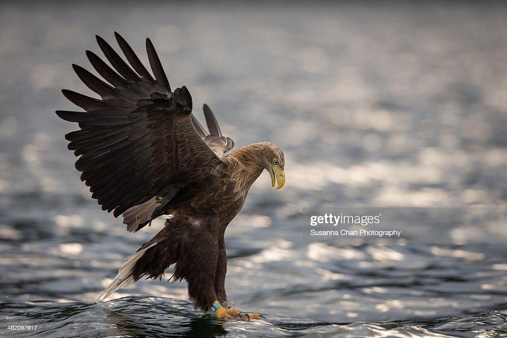 White Tailed Sea Eagle - : Stock Photo