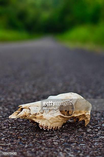 White tale deer skull on a rural road