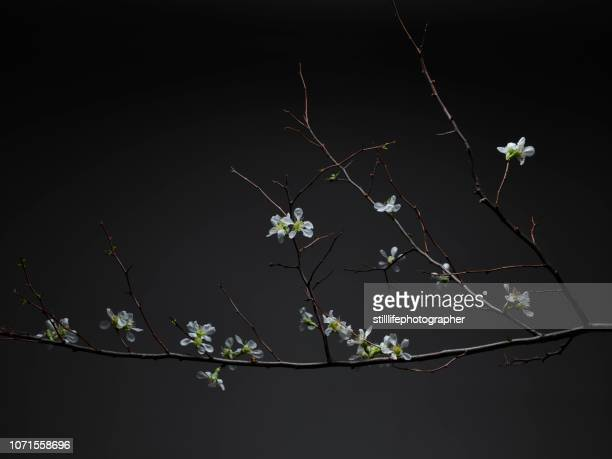 white tea flowers on branches on dark backgrund - bud stock pictures, royalty-free photos & images