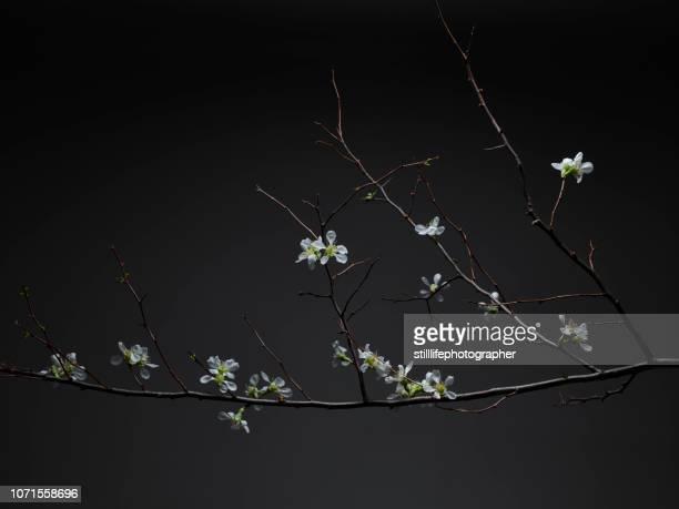 White tea flowers on branches on dark backgrund