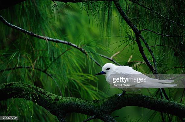 white tern (gygis alba) in pohutukawa (metrosideros excelsa) - midway atoll stock pictures, royalty-free photos & images