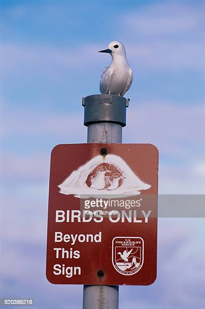 white tern sitting on a sign - midway atoll stock pictures, royalty-free photos & images