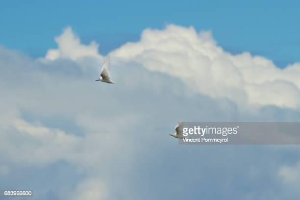 White Tern-Gygis