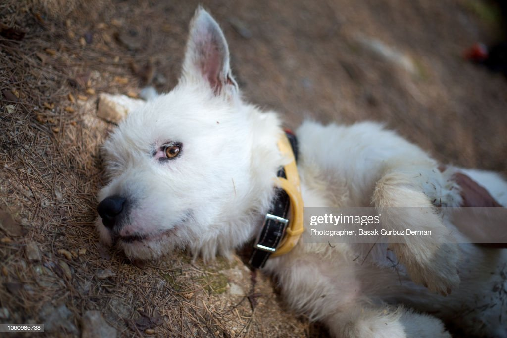 A white terrier dog lying in peace on the forest floor and enjoying the moment while a man is petting / stroking him : Stock Photo