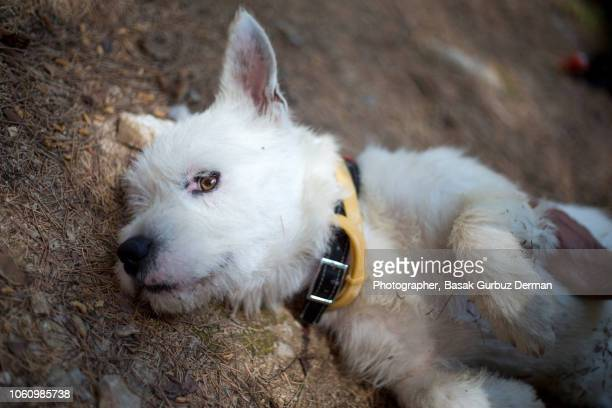 A white terrier dog lying in peace on the forest floor and enjoying the moment while a man is petting / stroking him