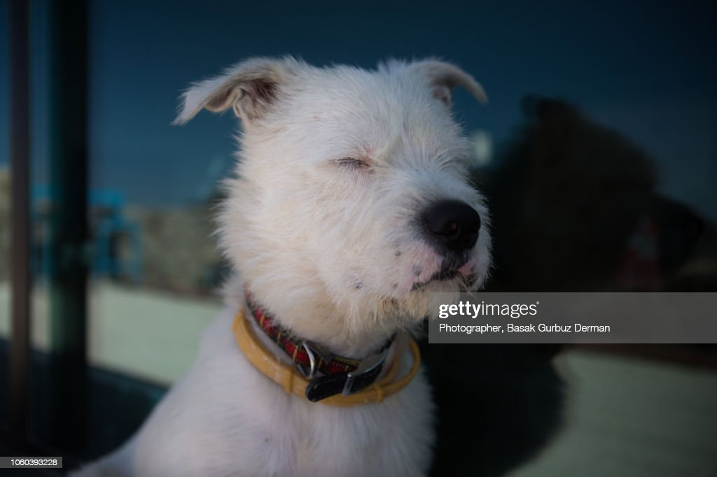 A white terrier dog sitting calmly with eyes closed by the window : Stock Photo