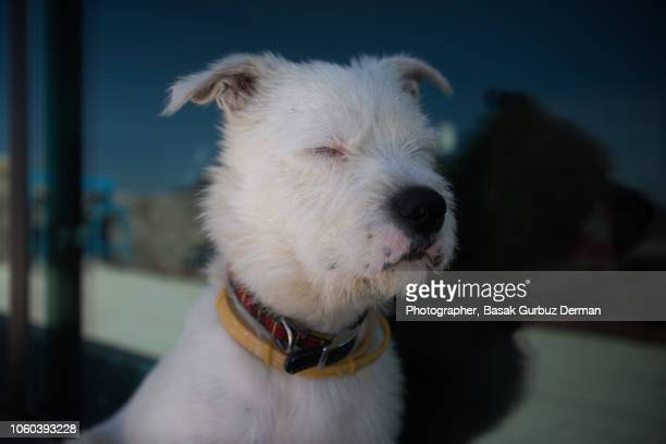 A white terrier dog sitting calmly with eyes closed by the window
