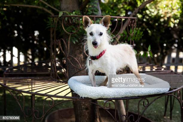 white terrier mix on a bed - the amanda collection - amandafoundationcollection stock pictures, royalty-free photos & images