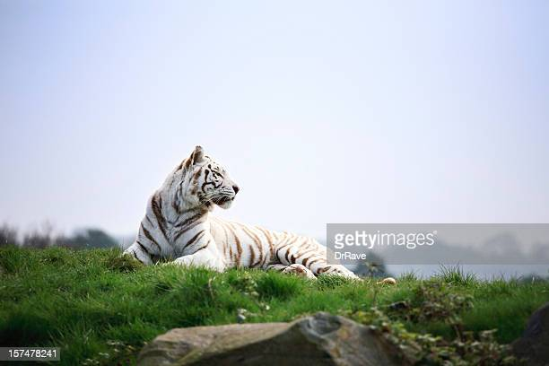 white tiger basking in the sun - bengal tiger stock pictures, royalty-free photos & images