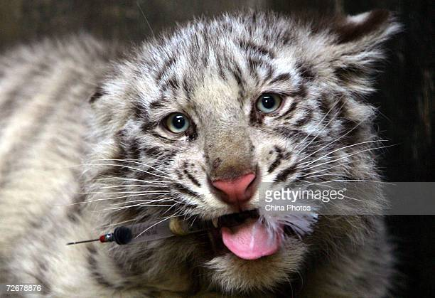 A White Tiger bites a syringe after it was injected with medicine to reduce inflammation by a veterinarian through a blow pipe on November 30 2006 in...