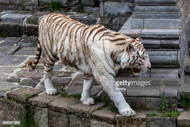 White tiger / bleached tiger pigmentation variant of the Bengal tiger native to India