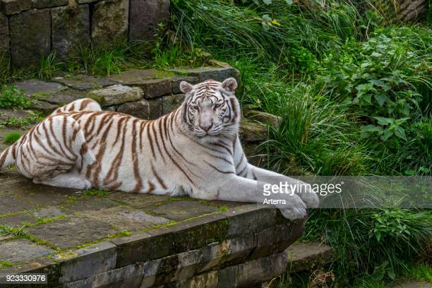 White tiger bleached tiger pigmentation variant of the Bengal tiger native to India