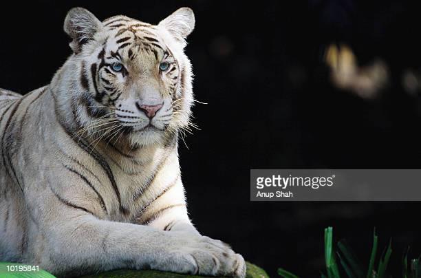white tiger (panthera tigris), close-up - white tiger stock photos and pictures