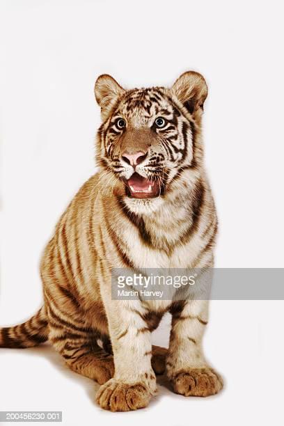 White tiger cub (Panthera tigris spp.) against white background