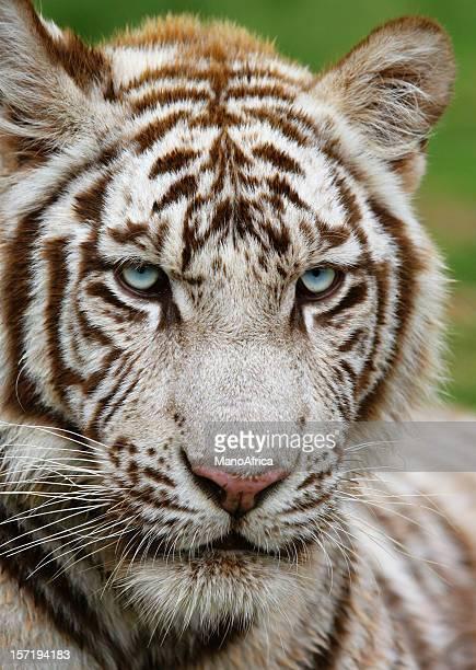 White Tiger four