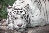 white tiger full face portrait. sleep