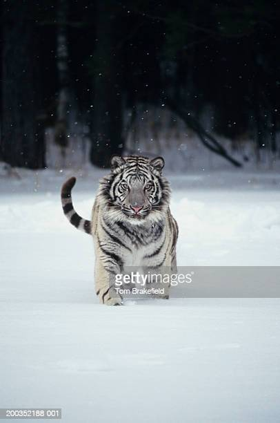 white tiger (panthera tigris) in snow - white tiger stock photos and pictures