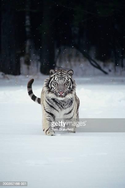 White tiger (Panthera tigris) in snow
