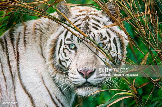 white tiger in the vegetation - white tiger stock photos and pictures
