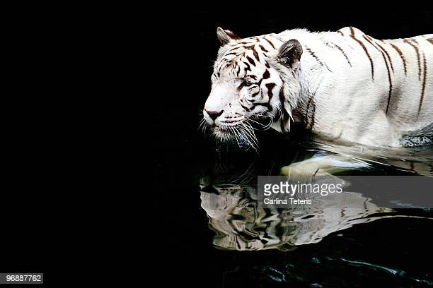 white tiger in water - white tiger stock photos and pictures