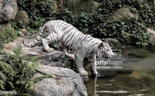 white tiger in zoo - white tiger stock photos and pictures