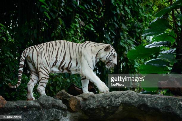 White tiger inside a cage at Dusit Zoo in Bangkok Thailand 30 September 2018 Dusit Zoo is Thailand's first public zoo opened 80 years ago on 18 March...