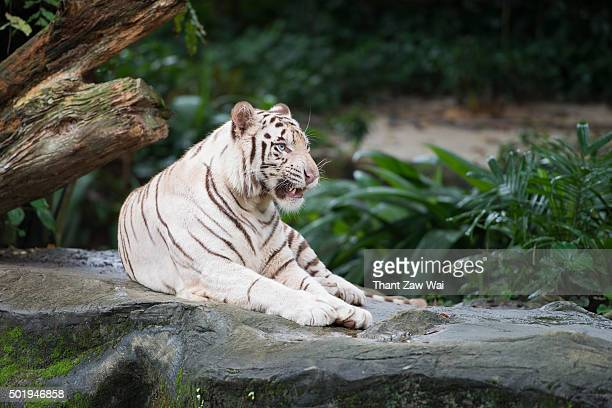 A White Tiger Looking Away The Camera